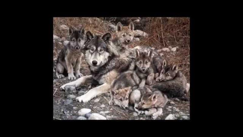 Волк отомстил за смерть волчицы и волчат