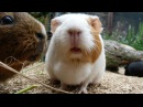 Daily Guinea Pig Routine