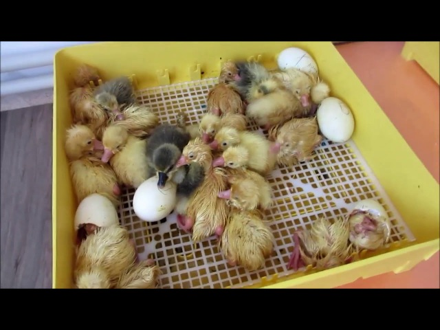Вывод гусят27--30 день инкубации.