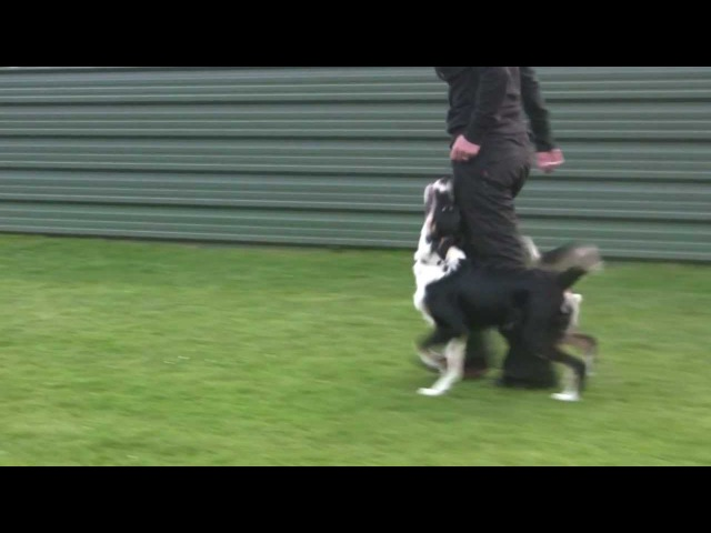 Obedience heelwork puppy training - Smasher Danesway Double Impact
