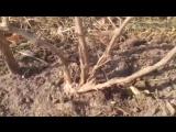 Как правильно обрезать виноград (How to trim the vine)