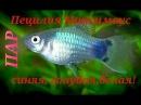 Аквариумные рыбки. Пецилия Микки Маус. Голубой,синий.
