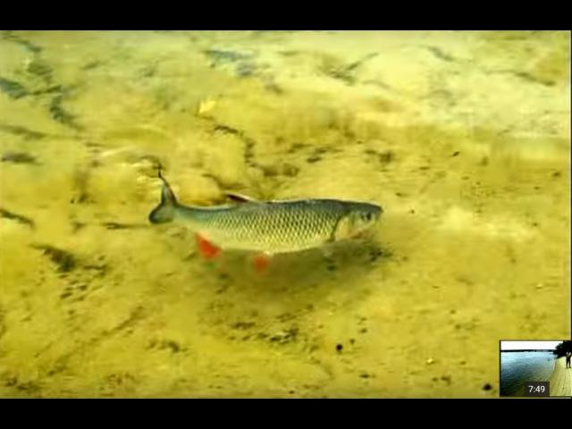 Ловля Голавля на майского жука с самоогружающимся поплавком . О Рыбалке Всерьез видео 2.