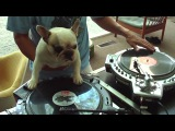 This French Bulldog Is A Better DJ Than Humans ! MUST WATCH !!!
