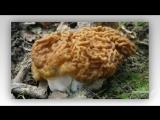 Класс Сумчатые грибы . Общая характеристика ( Сморчки , строчки , трюфели ) ...