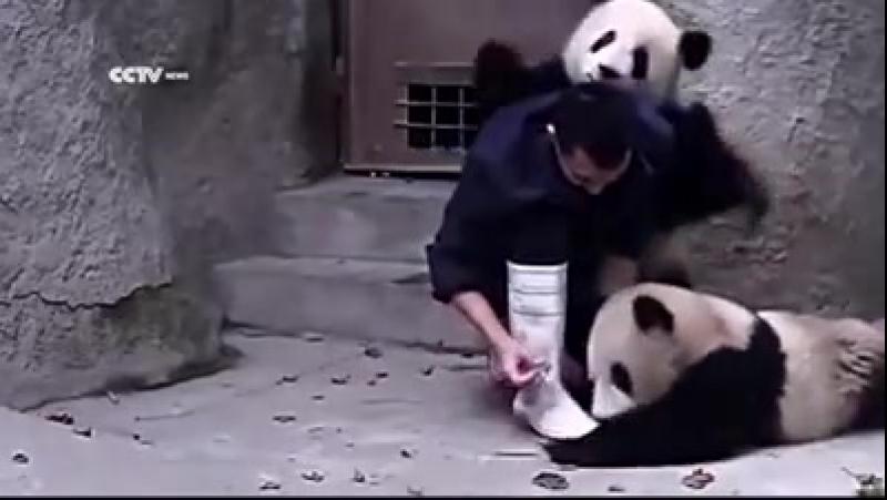 Панды не хотят принимать лекарство gfyls yt jnzn ghbybvfnm ktrfhcndj Вот это ВИДЕО 33 112