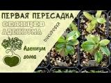 Адениум дома первая пересадка (пикировка) сеянцев адениума. Обрезка и формирование корней.