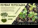 Адениум дома первая пересадка пикировка сеянцев адениума Обрезка и формирование корней
