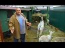 Содержание коз. Опыт почти горожанина FORUMHOUSE