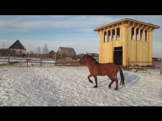 Конь Коней Лотос Мун ибн Ламбада-Малыш-Юферев ибн мой 12.12.15