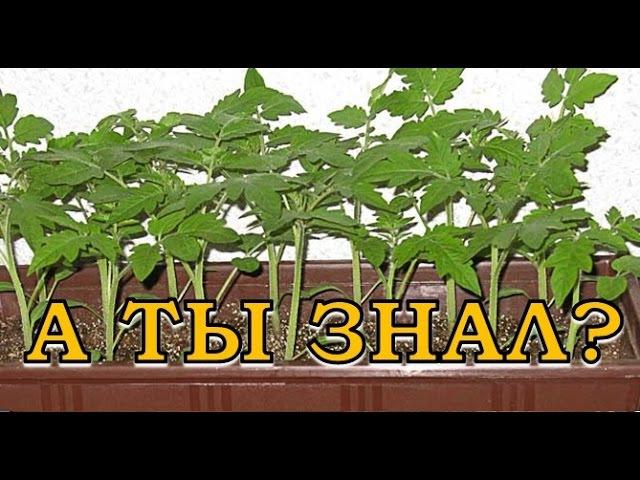 11 Нельзя при выращивании помидоров