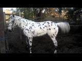 The most beautiful appaloosa horse in california