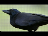 Inside the Crow's Mind BBC Earth