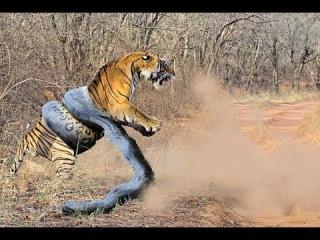 Animal Fight Python vs Tiger vs Jaguar Real Fight Giant ANACONDA attacks TIGER