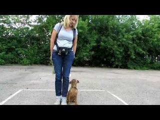 Гриффон Доня ОКД1 (Brussels Griffon training )