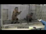 Что будет, если двум обезьянам несправедливо заплатить за работу