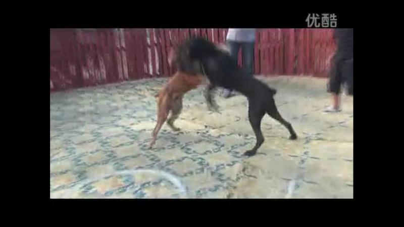 бандог vs бандог (fight) 18
