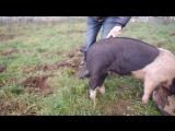 Как выпрямить хвост свиньи