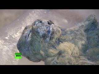 Ученые из Якутии нашли пригодных для клонирования пещерных львов