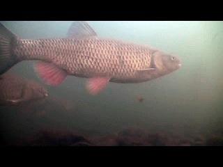 Зимняя ловля голавля - рыбалка на поплавок, червя