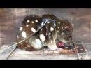 Австралия 2015. Животные Австралии. Dasyurus maculatus