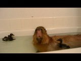 皿Capybara皿 hot tub chill
