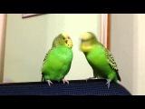 Два волнистых попугая разговаривают друг с другом