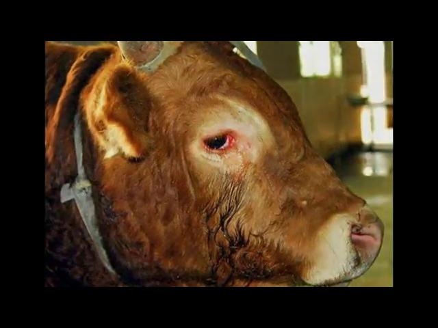 Матадор раскаялся во время боя с быком и отказался его убивать