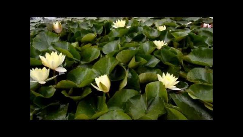 Водяная лилия Хромателла в питомнике Waterlilia