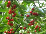 Аркадий Северный «Поспели вишни в саду у дяди Вани» - Arkadiy Severniy 1977