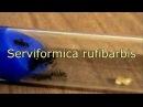 Рассказ о Serviformica rufibarbis