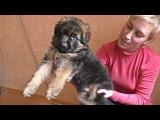 ПРОДАЮТСЯ ЩЕНКИ Длинношерстной Немецкой Овчарки. For sale. Long-haired German shepherd puppies.