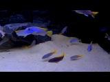 Аки голубой (Pseudotropheus acei Luwala Reef)