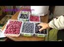 Заморозка ягод малина смородина голубика ежевика