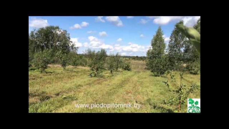 Яблоня сорт Папировка (Белый налив) / Ранние летние сорта яблонь