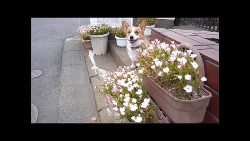 (HD) Goro@Welsh corgi 20090219 flower