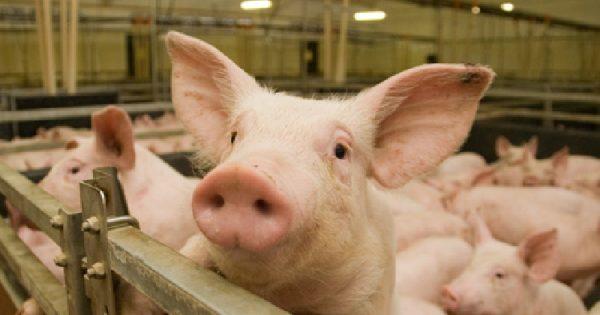 Африканская чума свиней приближается к Зеленчукскому району