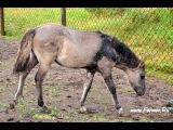 Якутские лошади на ферме