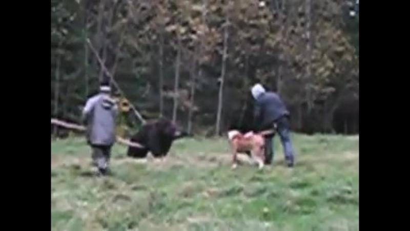 Рабочие собаки американский бульдог притравка на медведя