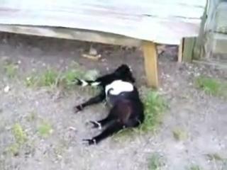Порода коз , которые при испуге притворяются мёртвыми ...