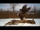 Беркут атакует белоголового орлана