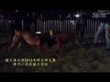 Собачьи бои Турнир в Китае 2015 САО алабай vs бандог
