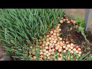 Выращивание чеснока на зелень 87