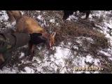 Охота на лис с норными собаками.