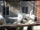 Статные голуби Быковского И.Н.1 часть