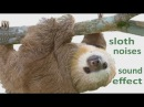 The Animal Sounds: Sloth  Noises -  Sound Effect - Animation