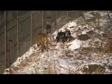Тигр Амур и козел Тимур )