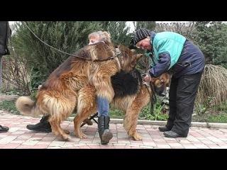 ЖДЁМ ЩЕНКОВ. ВЯЗКА Немецких Овчарок Шакиры и Вольфа. Mating German shepherds. Soon the puppies.