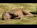 Мама не смогла разбудить слонёнка