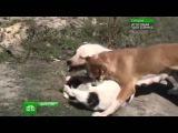 Дагестанцы и собачьи бои. Dagestani and dog fighting